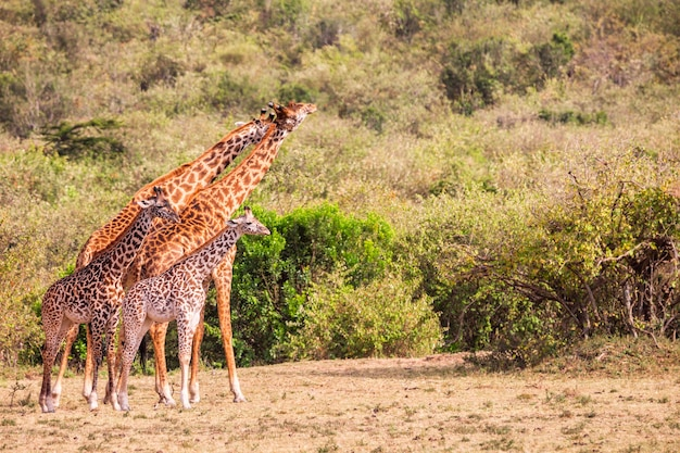 アフリカのサバンナにいるキリンのグループ。