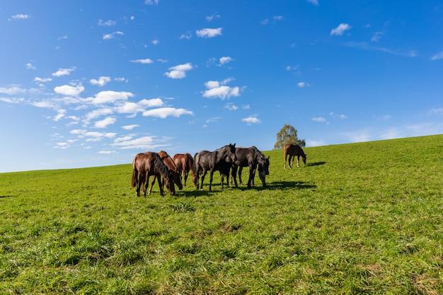 日当たりの良い牧草地の青空の下で馬の草のグループ