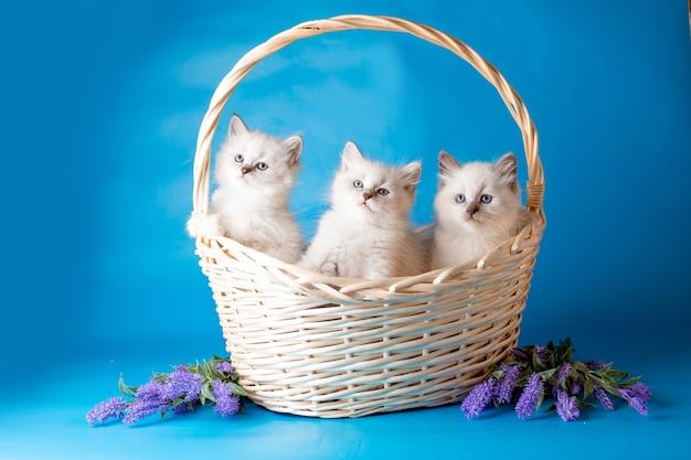 Группа котят в корзине на синем фоне