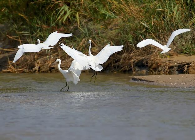 Группа маленьких белых цапель летит по ручью в поисках рыбы
