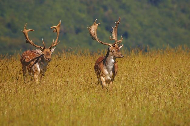 夏の朝にカメラに向かって来る男性ダマジカのグループ。ダマダマ。