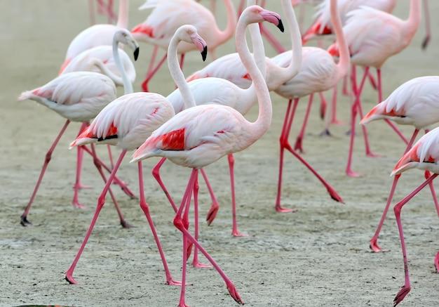ピンクのフラミンゴのグループがクローズアップ