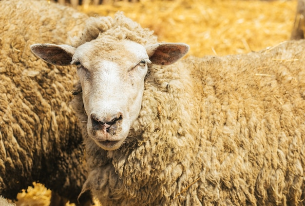 한 무리의 양이 헛간에 서 있습니다. 농업, 양 사육. 양 무리가 서로 가까이 서 있습니다.