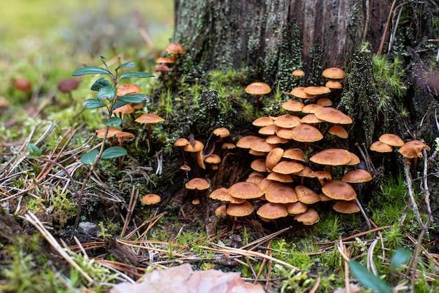 숲의 오래된 나무 그루터기에서 자라는 작은 버섯 무리