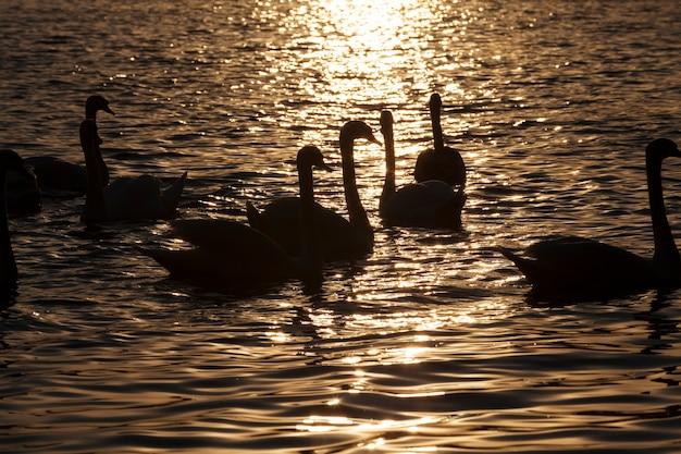 노란 황금빛 속에서 새벽에 수영하는 백조 무리, 봄철 호수나 강에서 많은 백조, 백조 무리와 함께 봄철