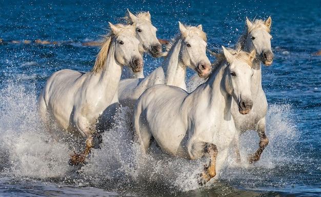 물에서 달리는 흰색 camargue 말의 그룹