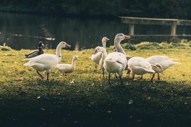 Группа белых уток, стоящих у озера