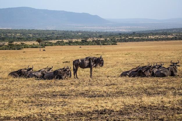 Группа антилоп гну отдыхает на миграции в национальном парке масаи-мара, дикие животные в саванне. кения