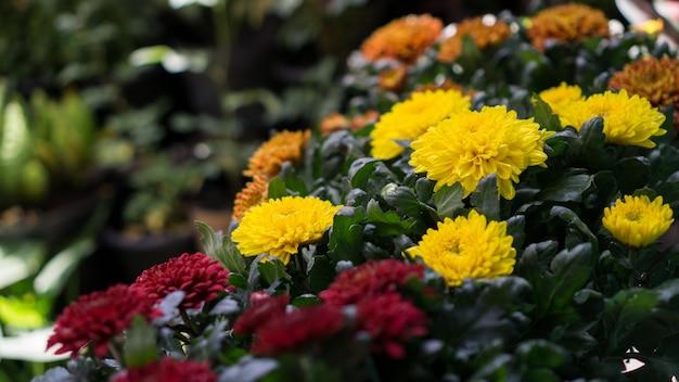 노란 국화 꽃의 그룹