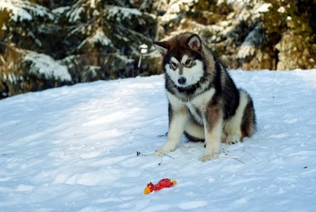 大人のシベリアンハスキーの子犬が雪の中に座って、彼の前に横たわっている彼のおもちゃを見ています