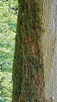 ロシア、ソチの半分生い茂った苔の木、イチイのボックスウッドの木立