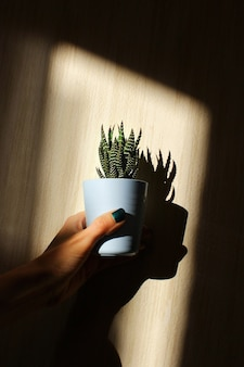 Рука держит горшок с хавортией на фоне стены с тенями. уход за домашними растениями в качестве хобби. свет и тени