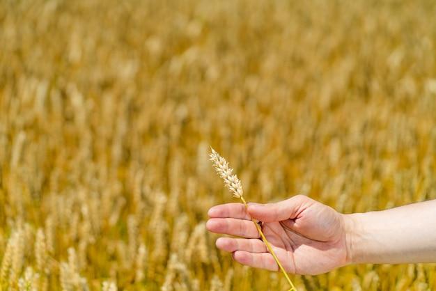 男の手が夏の畑の背景に小麦の茎を持っています。