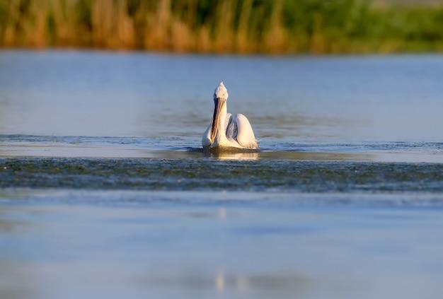 잘 생긴 달마시안 펠리컨이 다뉴브 강의 푸른 물에서 수영하고 있습니다.