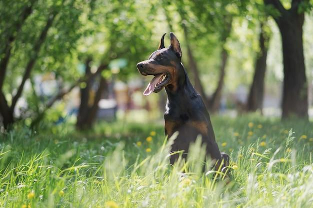 幸せなドーベルマンが公園で犬を歩いている背の高い緑の芝生に座っています