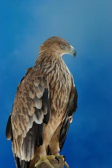 푸른 하늘 배경에 매가 독수리.