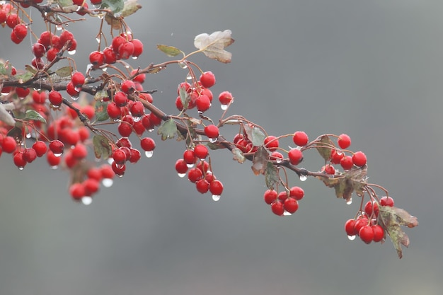 赤い果実と雨滴が付いているサンザシの枝