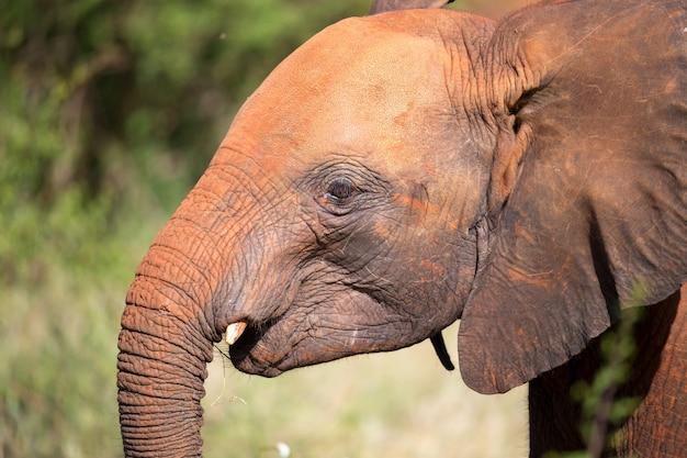 茂みの前で若い赤い象の頭