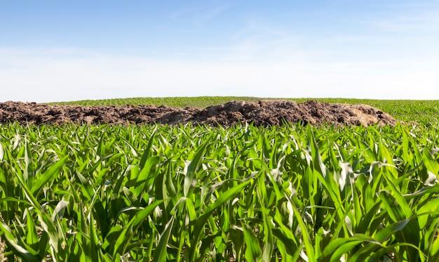 美しい緑のトウモロコシが育つ畑に横たわる、土壌肥沃化のための肥料の山、夏の初めの農地