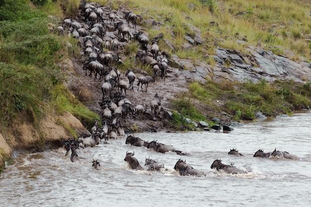 Стадо антилоп гну поднимается на крутом берегу кения африка Premium Фотографии