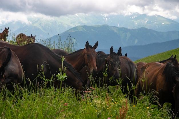 흐린 여름날에 산에서 방목하는 아름다운 말의 무리