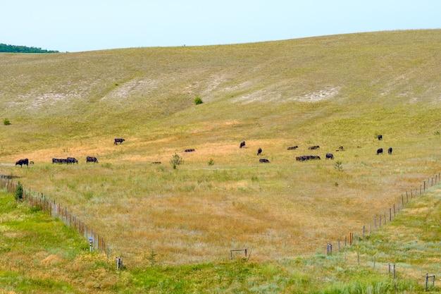 夏の日、丘の中腹で黒い牛の群れが放牧します。牛の肥育。
