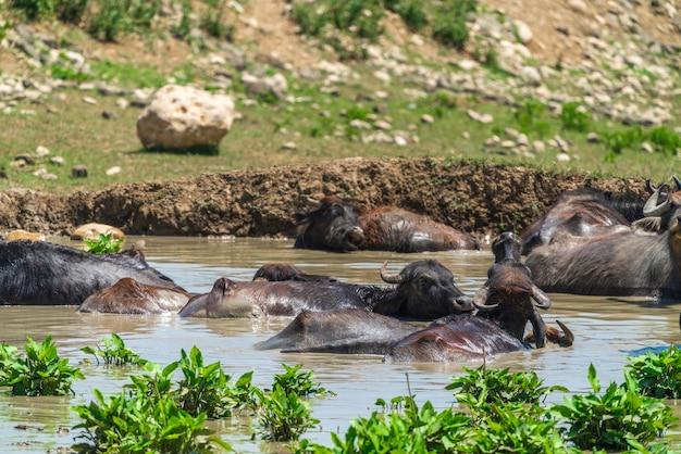 川で泳ぐ水牛の群れ