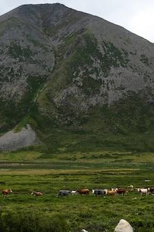 У подножия горы пасется стадо коров и полуяков.
