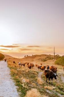 Стадо коров гуляет по проселочной дороге на закате
