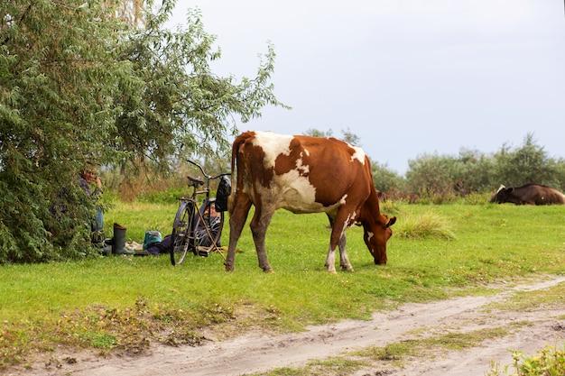 田舎道の近くの緑の牧草地で牛の群れが放牧します。近くには羊飼いの自転車があります。田園風景