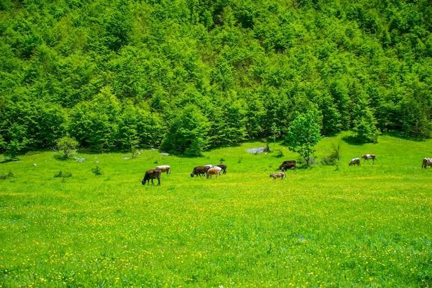 높은 산 사이의 초원에서 소 떼가 방목하다