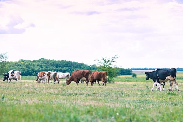 초원에서 풀을 뜯고 있는 소 떼. 농업