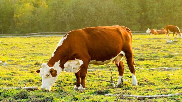 Стадо коров пасется на пастбище.