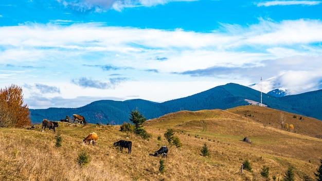Стадо коров пасется на залитой солнечным светом и ест траву на фоне природы карпат и неба.
