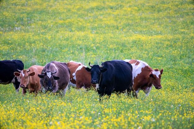 Стадо коров пасется на зеленом лугу. летний питомец на ферме.