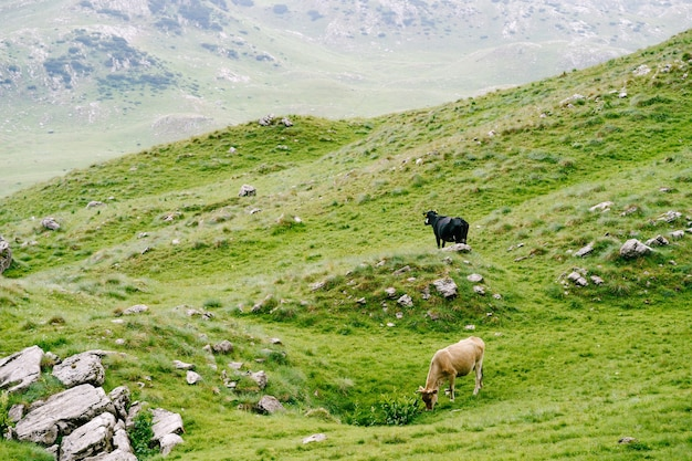몬테네그로 두르미토르 국립공원의 산에 있는 녹색 언덕 초원에서 풀을 뜯는 소 떼