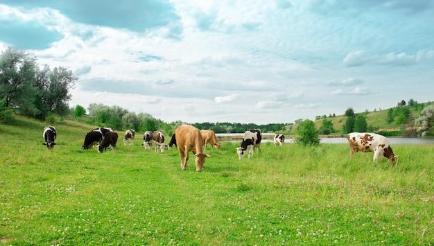 소 무리가 잔디밭에 방목하다