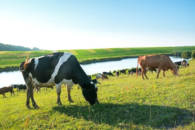 Стадо коров, пасущихся на поле