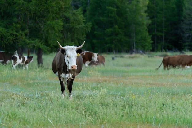 Стадо коров, пасущихся на лужайке рядом с лесом