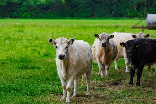 緑の野原に牛の群れ。