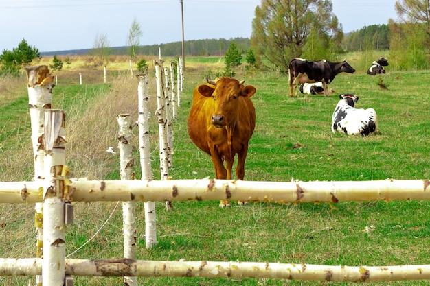 牛の群れは羊飼いなしで柵の後ろを歩きます。イノベーション-エレクトロニックシェパード。
