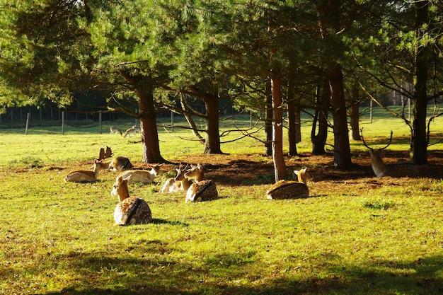 牧草地で放牧している鹿とノロジカの群れ。アカシカまたはヨーロッパの鹿。鹿の農場