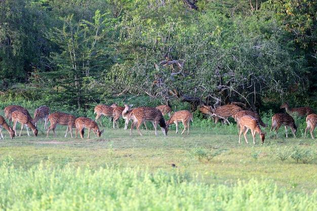 荒野で放牧している鹿の群れ