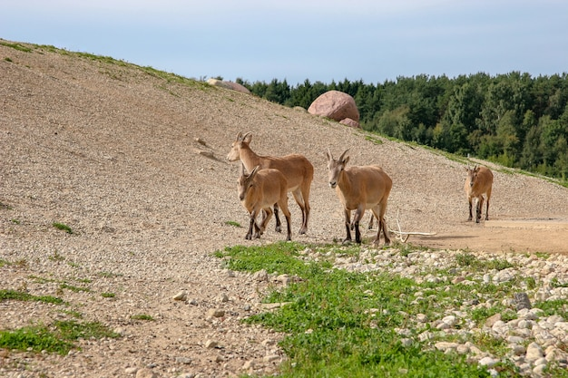 晴天時には、茶色の羊毛を持った4頭の山羊の群れが丘に沿って歩きます。晴れ。地面には緑の草があります。背景の森。
