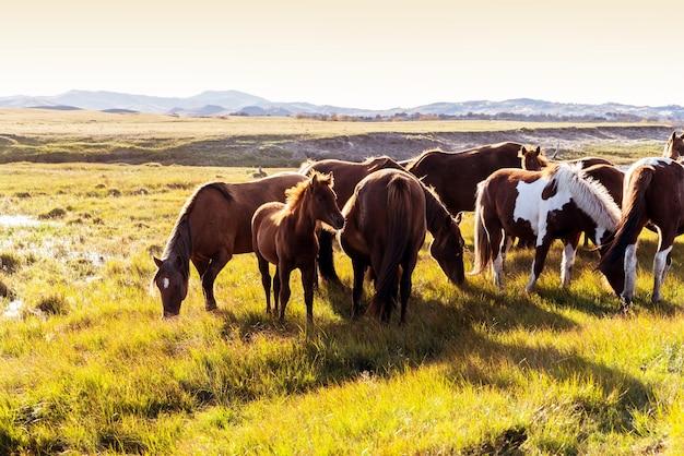 秋の牧草地の馬の群れ