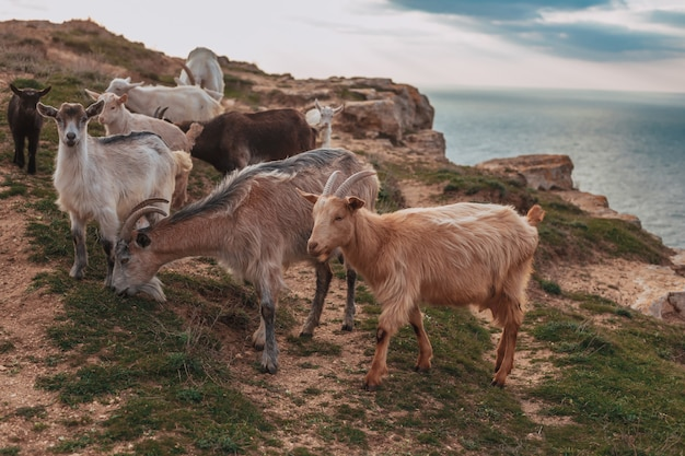 Стадо горных козлов стоит на поле