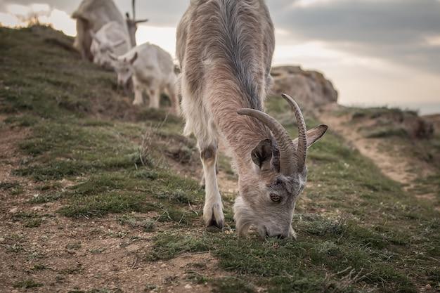 フィールドに立っている山羊の群れ