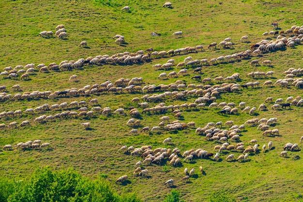 산비탈에서 풀을 뜯는 양떼