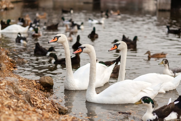Стадо лебедей и уток в плавательном озере в городском парке