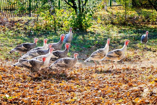 Стадо индеек в саду фермы осенью в солнечную погоду_